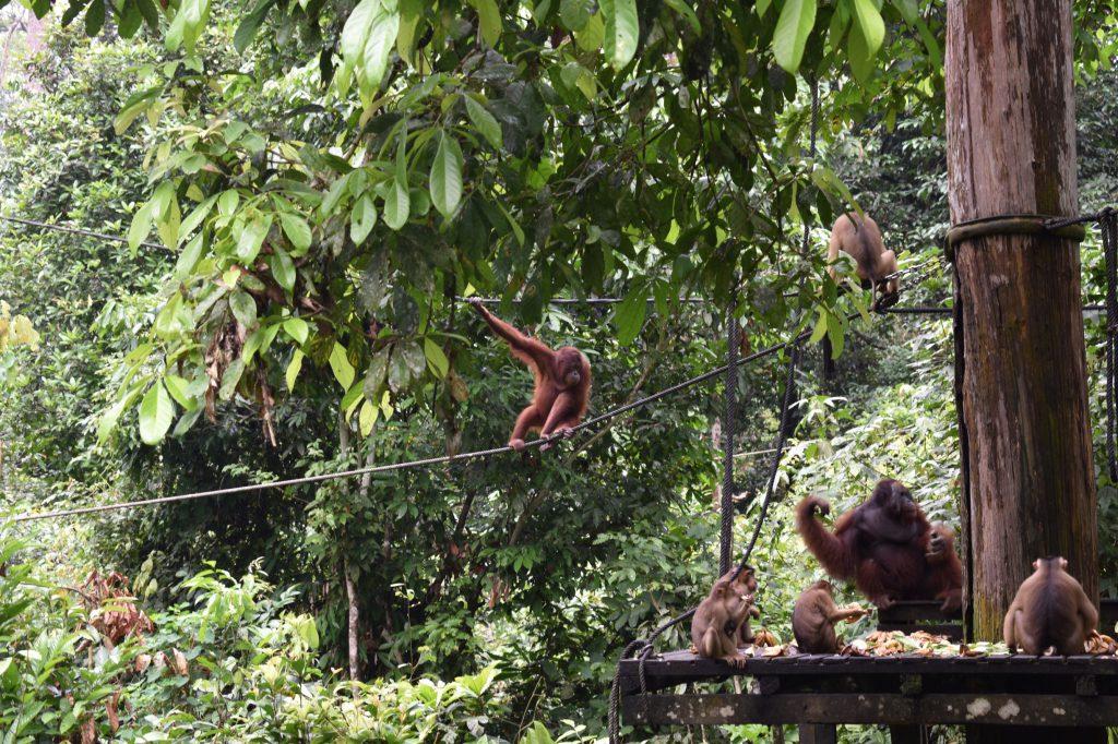 Orang Utans kijken bij Sepilok