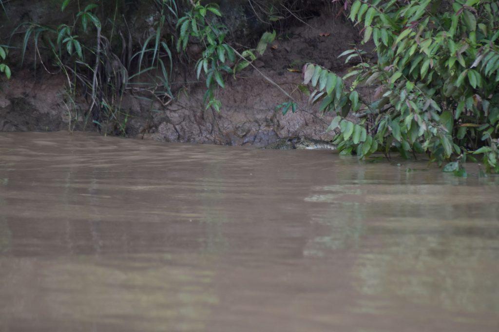 Krokodil gespot!