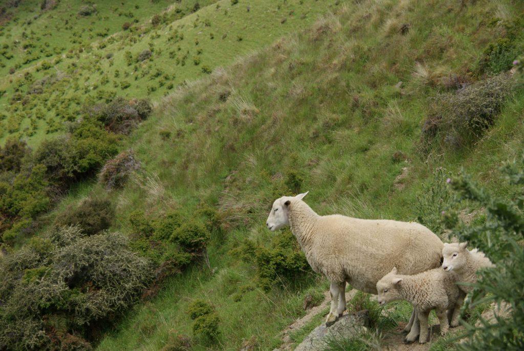 Nog meer schapen :)
