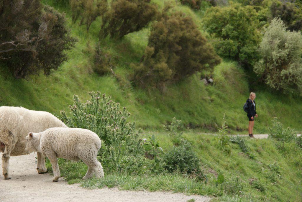 Onderweg komen we veel schapen tegen