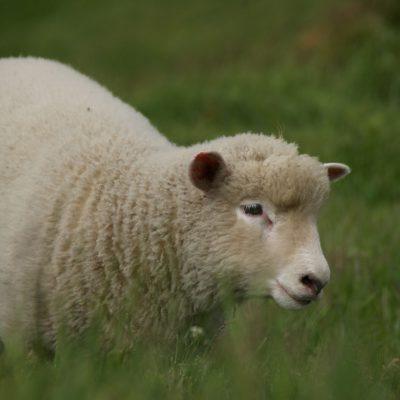 Onderweg komen we alleen maar schapen en koeien tegen